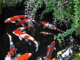 Cá chép Nhật Bản cũng đem nhiều may mắn