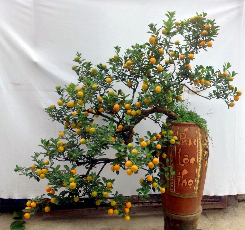 Cây quất bonsai thế long thăng
